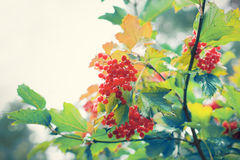 Wet viburnum berries Stock Photography