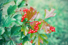 Wet viburnum berries Stock Images