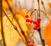 Wet viburnum fruit on a brunch. Horizontal photo, photo took in the vicinities of Moscow, Russia Royalty Free Stock Photo