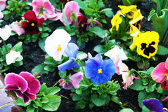 Wet Viola Flowers Background Royalty Free Stock Images