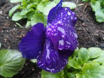 Wet violet. There are a lot of flowerpots with flowers in Palanga's health resort Royalty Free Stock Photos