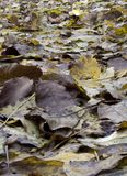 Wet walnut leaves Royalty Free Stock Image