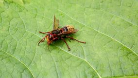 Wet wasp tries to dry up and go to flight stock video