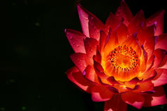 Wet  water lily Royalty Free Stock Photos