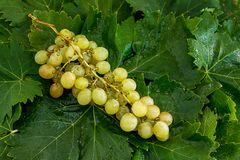 Wet White Cluster of Grapes on Top of Vine Leaves royalty free stock images