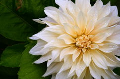 Wet White Dahlia Flower Royalty Free Stock Image