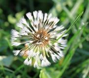 Wet white dandelion in green grass Stock Images