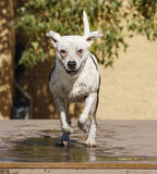 Wet white dog running off dock into the pool Stock Photography