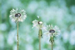 Free Wet White Flowers Of Fluffy Dandelions After The Rain. Stock Image - 92240261