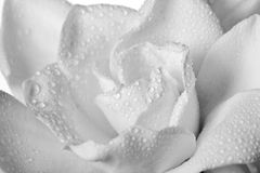 Wet White Gardenia Flower Isolated Stock Images