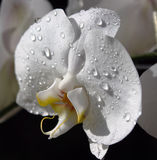 Wet white orchid Stock Photography