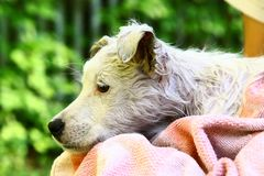 Wet white puppy close up photo on human lap with towel stock photography