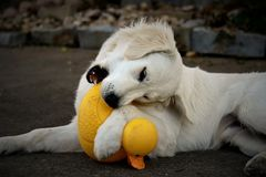 Retriever Rubber Ducky. White English Cream Golden Retriever puppy chewing on a yellow rubber ducky. Front paw wraps the duckies neck. Grey background stock photography