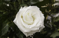 Wet white rose. In flower garden, nature Royalty Free Stock Photography