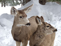 Wet and Wild. Doe and her fawn on a wet winter day royalty free stock photos