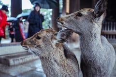 Wet Wild Deer in the Nara Park, Japan