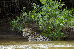 Wild Jaguar Pausing in River in front of Jungle Stock Images