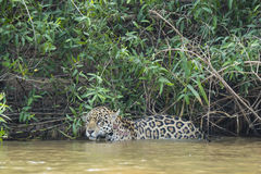 Wet Wild Jaguar Pausing in River in front of Jungle Royalty Free Stock Image