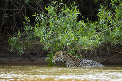 Wet Wild Jaguar in the River by Jungle with Large Wound Stock Photography