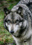 Wet wolf Royalty Free Stock Photos