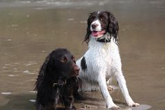 Wet Working type English springer and cocker spaniels on a beach. Working type English springer and cocker spaniels on a beach Royalty Free Stock Images