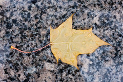 Wet yellow autumn leaf Stock Photos