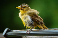 Wet yellow bird Stock Photo