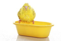 Wet yellow budgie Royalty Free Stock Photo