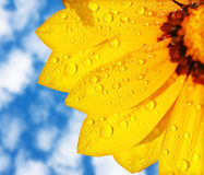 Wet yellow flower background Stock Photo
