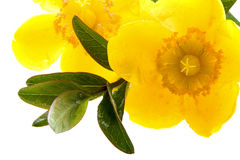 Wet yellow flowers. With a twig Royalty Free Stock Photos