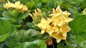 Wet Yellow Ixora flower Royalty Free Stock Photo