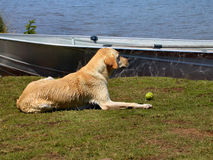 Wet Yellow Lab on Lake Shore. Wet yellow Labrador retriever rests on the shore of a lake.  A grungy tennis ball is on the ground in front of the animal.  Dog Royalty Free Stock Image