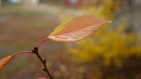 Wet yellow leaf lone tree on yellow background autumn rain nature. Wet yellow leaf lone tree yellow background autumn rain nature stock video footage