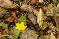 Wet yellow leave among other fallen leaves in autumn. Vivid autumn golden yellow leave is on a carpet of green and brown fallen leaves. It is fall time Royalty Free Stock Images