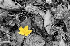 Wet yellow leave among other grey leaves in autumn. Black and white image with one single vivid autumn golden yellow leave on a carpet of fallen leaves. It is Stock Images