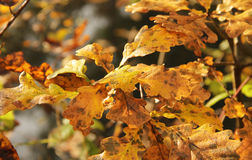 Wet yellow leaves of oak tree Royalty Free Stock Image