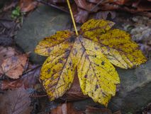 Wet yellow maple tree leaf on stone and brown ground. Wet dirty yellow maple tree leaf on stone and brown ground Stock Photography