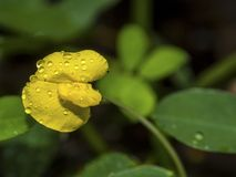 Wet yellow peanut blossom. A blossom of an inedible peanut [Arachis pintoi] with water droplets after a rainfall Stock Photography