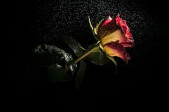 Wet yellow and red rose. Red and yellow ombre rose in rainfall on a black background Royalty Free Stock Photo