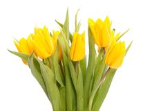 Wet yellow tulips Stock Photography