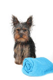 Wet Yorkshire Terrier. With blue towel, after the bath Royalty Free Stock Photo