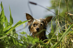 Wet Yorkshire Terrier in grass Stock Image