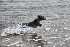 A wet young brown working type cocker spaniel puppy leaping into Stock Image