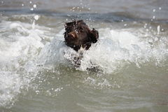 A wet young brown working type cocker spaniel puppy leaping into the sea Stock Image