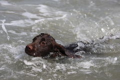 A wet young brown working type cocker spaniel puppy leaping into Stock Photography