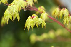 Wet young leaves. Before opening young green maple leaves Acer palmatum wet with rain Royalty Free Stock Image