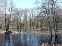 Zalgiriu forest in flood time, Lithuania royalty free stock photo