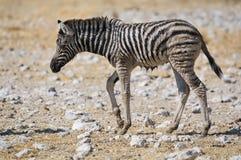 Wet Zebra foal, Etosha, Namibia Stock Images