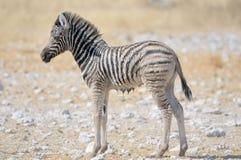 Wet Zebra foal, Etosha, Namibia Stock Image