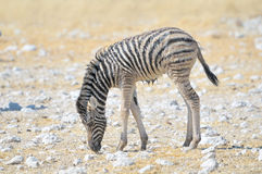 Wet Zebra foal Stock Photography